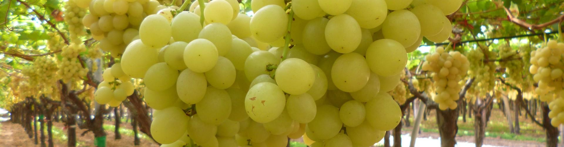 Struttura della filiera viti-vinicola in Basilicata