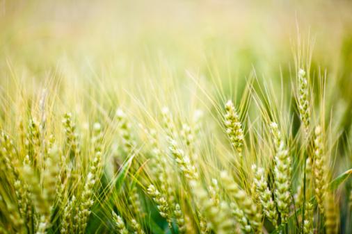 Valutazione del Problema delle Micotossine nella dieta mediterranea